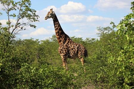 Giraffe's looking above trees Banco de Imagens
