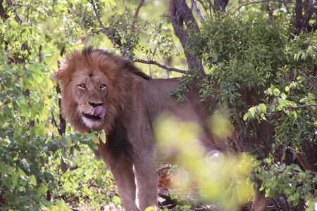 Male lion in shade of a tree