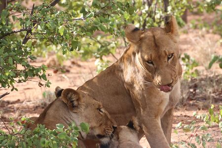 Lionesses content under shade of a bush Stock Photo