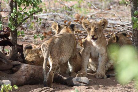 Lion cubs at a carcass