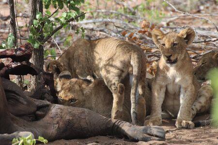 Lion cubs at buffalo carcass