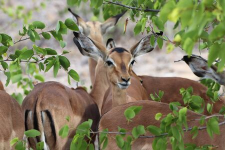 Young impalas gathering in the shade of a tree