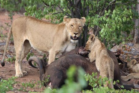 Lioness and cub at carcass