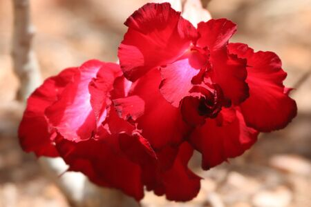 Beautiful double red flowers