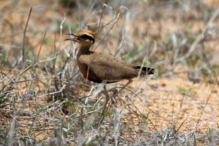 Temminck's Courser in the veld 스톡 콘텐츠