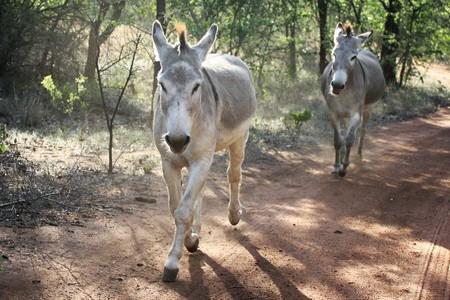 Donkeys trotting on a dirt road