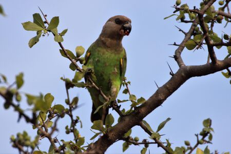 Brown headed parrot in a tree with berries