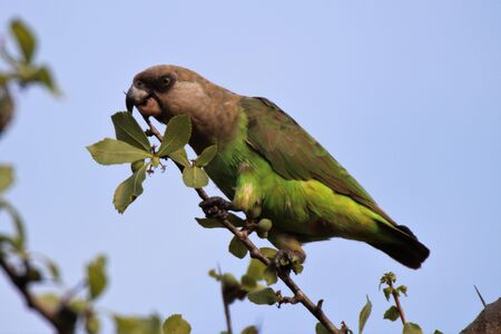 Brown Headed parrot eating berries from a tree