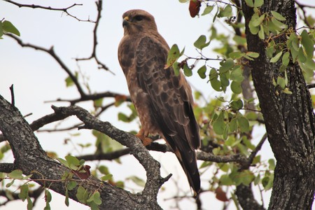 Buzzard in the shade of a tree