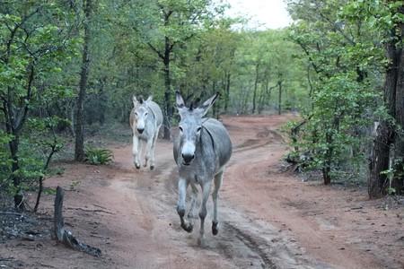 Two donkeys running in gravel road
