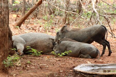 Warthog piglets suckling on their Mother Stock Photo