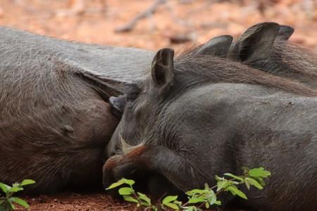 Warthog piglets suckling 写真素材