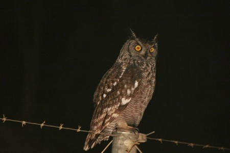 Spotted Eagle owl sitting on a pole at night looking for food