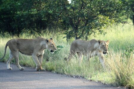 Lionesses in the Kruger National Park Stock Photo