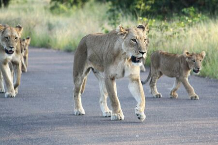 Lionesses and cubs walking down a road