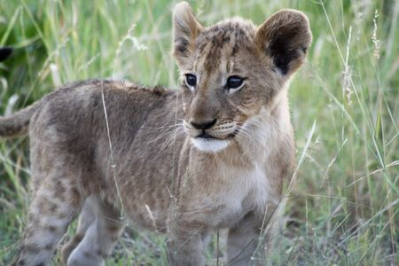 Lion Cub in the veld
