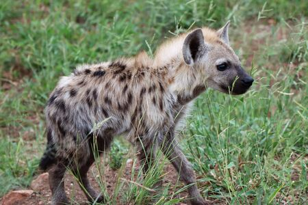 Young Hyena pup outside its den