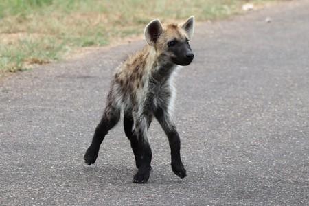 Small Hyena Pup