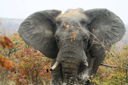 close-up of African Elephant with broken tusk Stock Photo