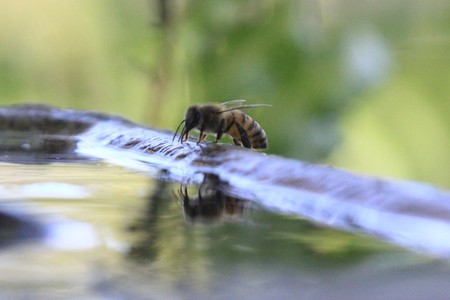 Bee drinking water at a fountain