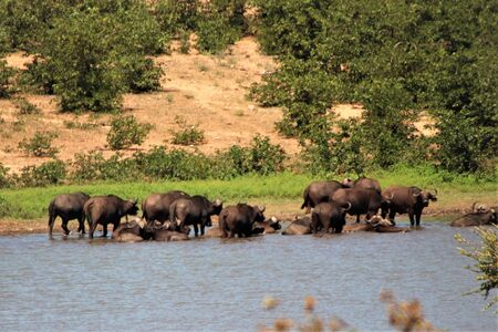 African water buffalo drinking water and resting Stock Photo