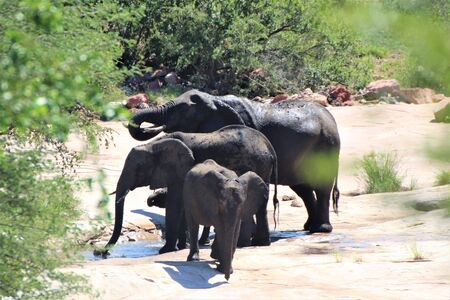 African Elephant drinking water at natural water hole Stock Photo
