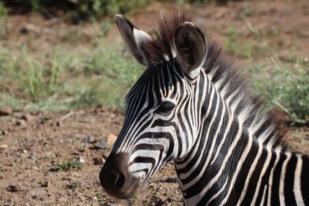 close-up of Young Zebra foul relaxing in the sun Stock Photo