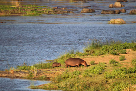 Mother and Baby hippopotamus outside the water grazing
