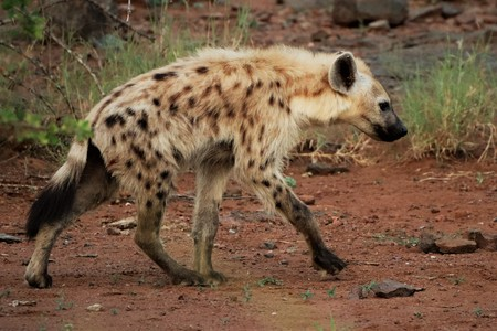 Hyena walking in the Kruger National Park Stock Photo