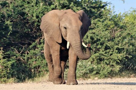 African Elephant swinging its trunk from side to side