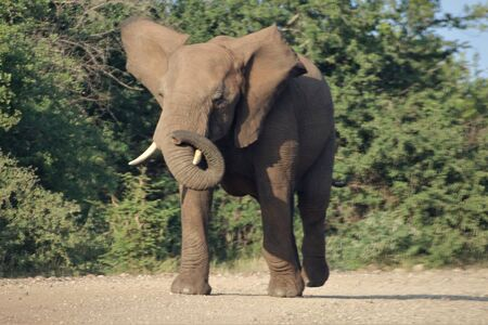 African Elephant playing with its trunk Stock Photo