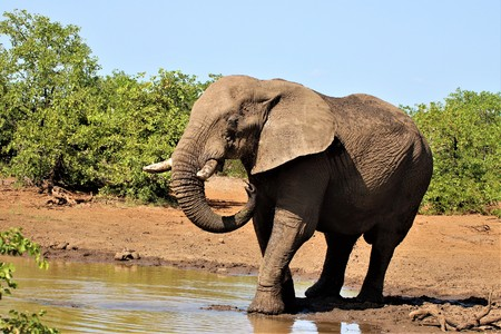 African Elephant cooling down at a pond in the Kruger National Park