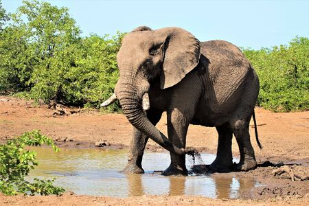 African Elephant cooling down at a pond