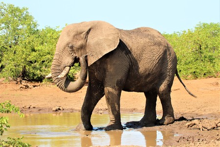 African Elephant throwing water over himself at a pond