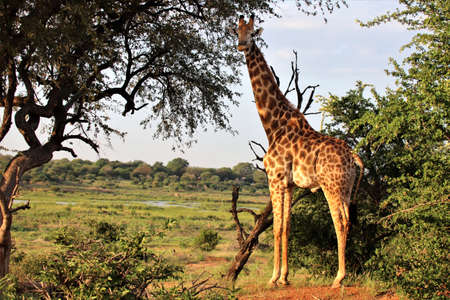 Giraffe standing beneath a tree looking for danger before nearing the river