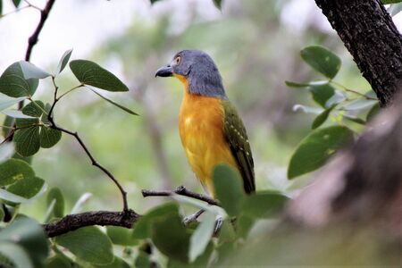 Grey headed bush shrike curiously looking for something Banque d'images