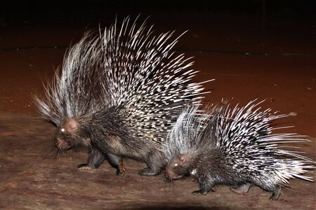 Mother porcupine and baby strolling together