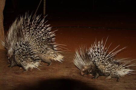 Mother and young baby porcupines together