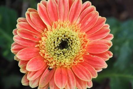 Barberton Daisy flower Stock Photo