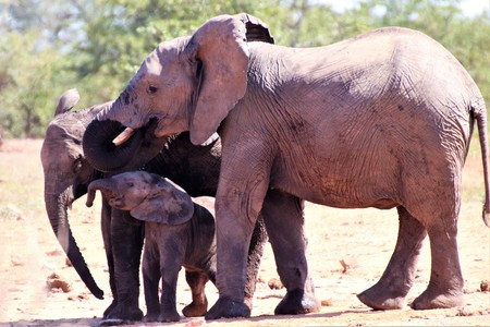 African Elephant family drinking water out of waterhole 写真素材