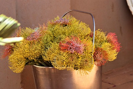 Bucket full of picked Protea flowers