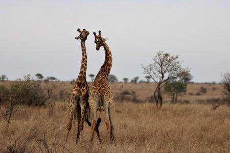 Giraffes fighting over territory Stockfoto