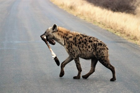 Hyena carrying a bone in its mouth