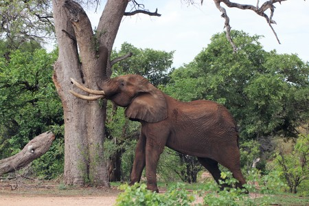 African Elephant testing its strength against a tree