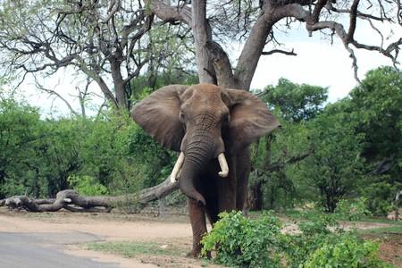 Curious African Elephant