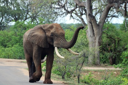 African Elephant smelling the air while walking in the road