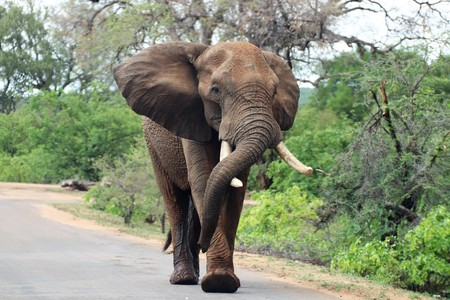 African Elephant walking in the road, resting its trunk on its tusk