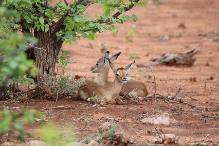 Impala lambs resting in the shade of a bush