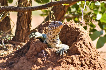 Monitor lizard at its hole in the ground, checking to see if it is safe to come out Stock Photo