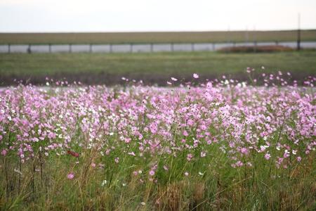 Beautiful Cosmos flowers in bloom during Autumn season